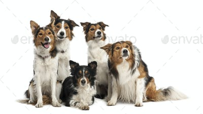 Group of Border Collies against white background