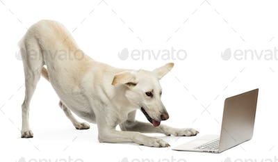 Crossbreed dog looking at laptop against white background