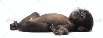 Baby bonobo, Pan paniscus, 4 months old, lying against white background