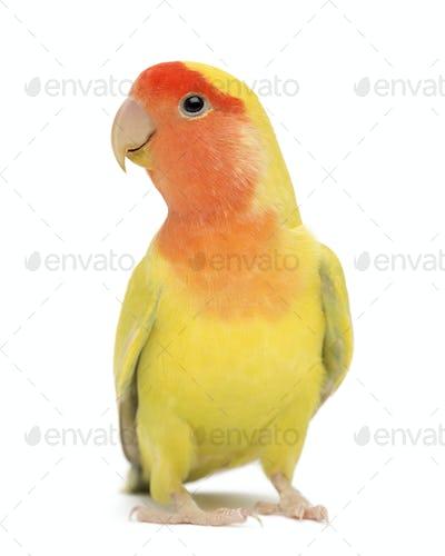 Rosy-faced Lovebird, Agapornis roseicollis, also known as the Peach-faced Lovebird