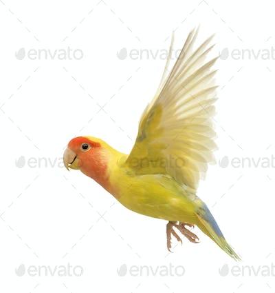 Rosy-faced Lovebird flying, Agapornis roseicollis, also known as the Peach-faced Lovebird