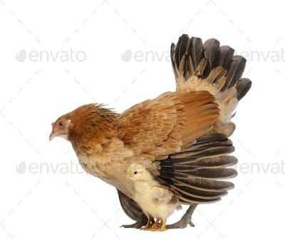 Hen protecting its chick against white background