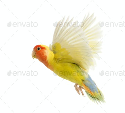 Rosy-faced Lovebird flying, Agapornis roseicollis, also known as the Peach-faced Lovebird