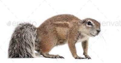 Cape Ground Squirrel, Xerus inauris, standing against white background