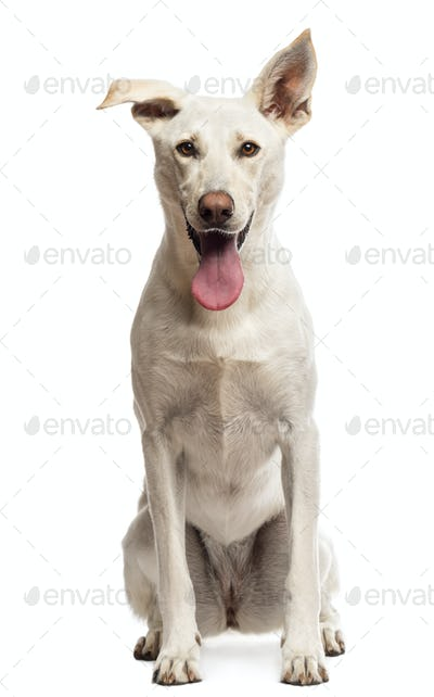 Portrait of Crossbreed dog sitting against white background
