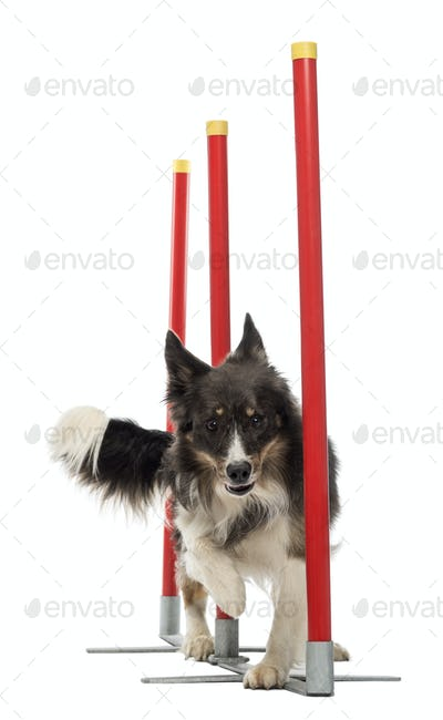 Border Collie slaloming against white background
