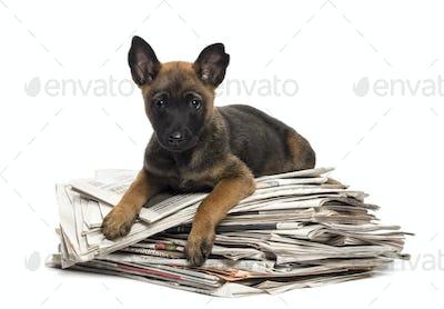 Belgian Shepherd lying on a pile of newspaper, portrait against white background