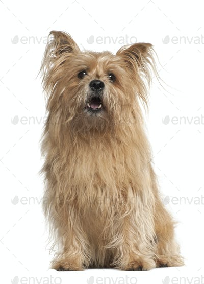 Cross breed, 8 years old, sitting against white background
