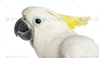 Sulphur-crested Cockatoo, Cacatua galerita, 9 weeks old against white background