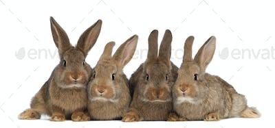 Four rabbits against white background