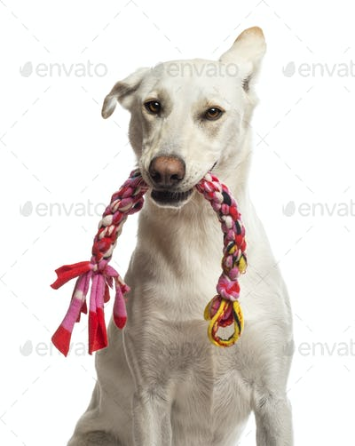 Portrait of Crossbreed dog holding toy in its mouth against white background