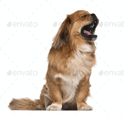 Pekingese, 18 months old, sitting against white background