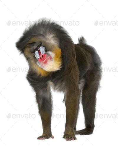 Mandrill shaking- Mandrillus sphinx, 22 years old, primate of the Old World monkey