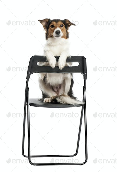 Portrait of Border Collie sitting on chair against white background