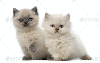 Portrait of British Shorthair Kitten sitting, 9 weeks old, 5 weeks old, against white background