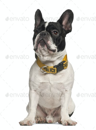 French Bulldog wearing Police collar sitting against white background