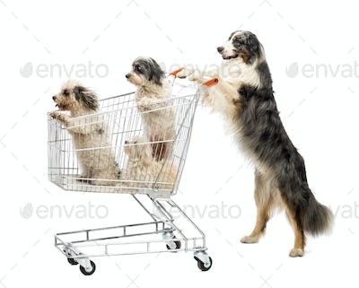 Australian Shepherd standing on hind legs and pushing a shopping cart with dogs