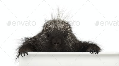 Portrait of North American Porcupine, Erethizon dorsatum, also known as Canadian Porcupine or Common