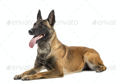 Belgian Shepherd lying, panting and looking up against white background