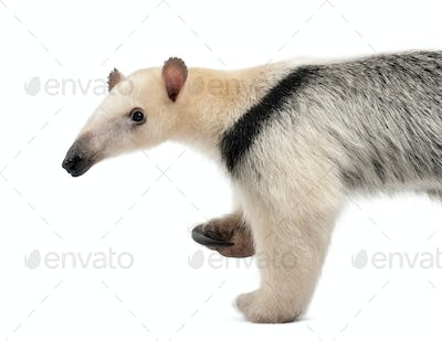 Tamandua, Tamandua tetradactyla, 3 years old, walking against white background