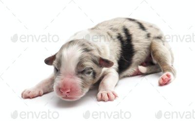 Australian Shepherd puppy, 1 day old, lying against white background