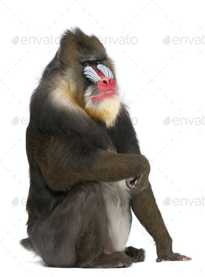 Portrait of Mandrill, Mandrillus sphinx, primate of the Old World monkey family 22 years