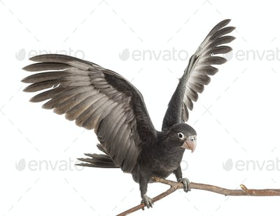 Greater Vasa Parrot, Coracopsis vasa, 7 weeks old, perched on branch with spread wings