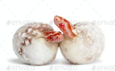 Corn snake hatching, Pantherophis guttatus guttatus, also know as red rat snake