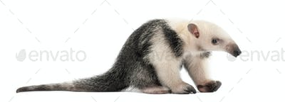 Tamandua, Tamandua tetradactyla, 3 months old, sitting against white background