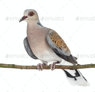 European Turtle Dove perched on branch, Streptopelia turtur, also known as the Turtle Dove