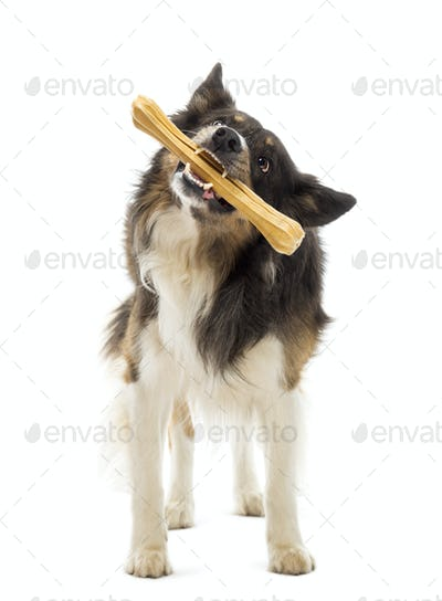 Border Collie standing and chewing bone against white background