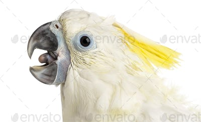 Sulphur-crested Cockatoo, Cacatua galerita, 8 weeks old against white background