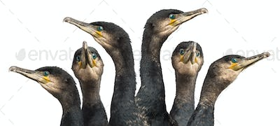 Six Great Cormorants head, Phalacrocorax carbo, also known as the Great Black Cormorant