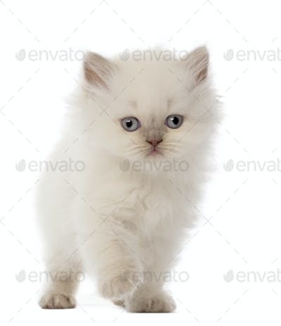 British Longhair Kitten, 5 weeks old, against white background