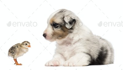 Australian Shepherd puppy, 30 days old, lying and looking at chick against white background