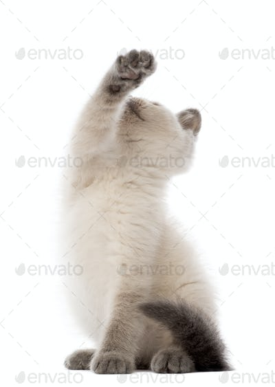 British Shorthair Kitten sitting and playing, 10 weeks old, against white background