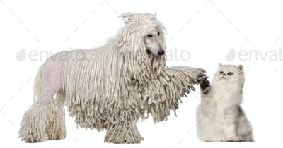 White Corded Standard Poodle and Persian high fiving against white background