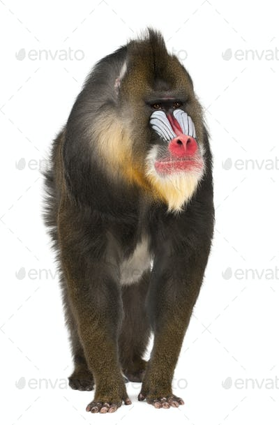 Mandrill, Mandrillus sphinx, 22 years old, primate of the Old World monkey