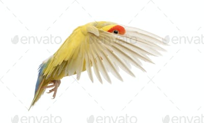 Rosy-faced Lovebird flying, Agapornis roseicollis, also known as the Peach-faced