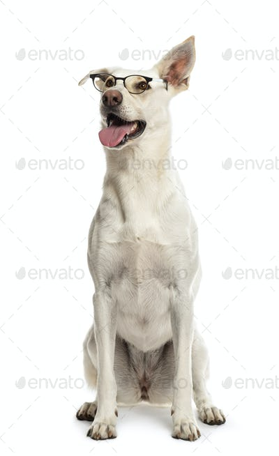 Crossbreed dog sitting and wearing glasses against white background