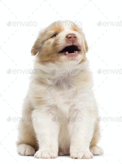 Australian Shepherd puppy, 1 months and 3 days old, sitting and barking against white background
