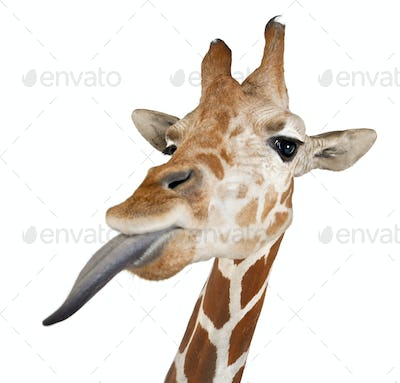 Somali Giraffe, commonly known as Reticulated Giraffe 2 and a half years old