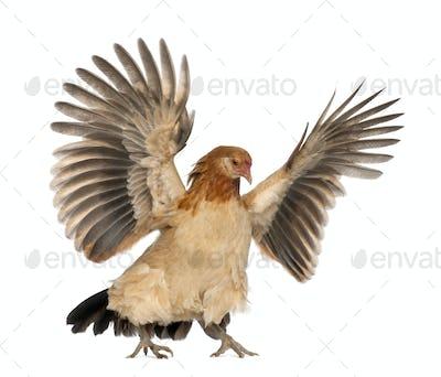 Hen flying against white background