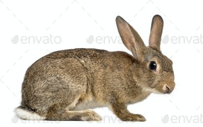 European rabbit or common rabbit, 3 months old, Oryctolagus cuniculus against white background
