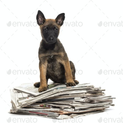 Belgian Shepherd sitting on a pile of newspaper against white background