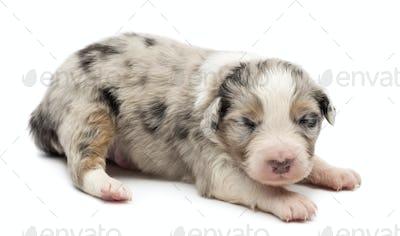 Australian Shepherd puppy, 14 days old, lying against white background