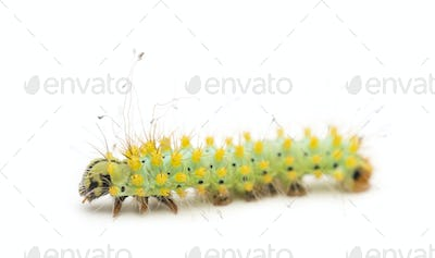 Caterpillar of the Giant Peacock Moth, Saturnia pyri, against white background