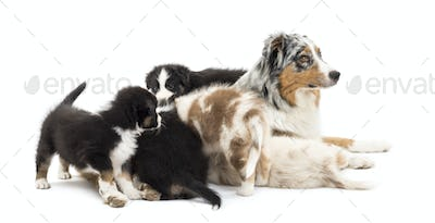 Australian Shepherd puppies, 6 weeks old, playing around their mum against white background