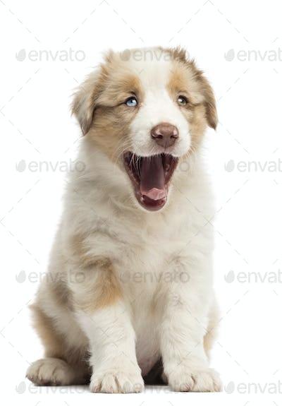 Australian Shepherd puppy, 8 weeks old, sitting and yawning against white background