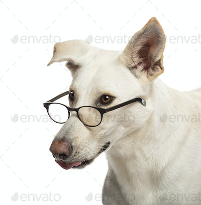 Crossbreed dog wearing glasses against white background